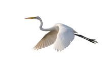 Great Egret Isolated On White Background