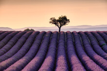Lonely Tree On Top Of A Lavender Field At Sunset, Valensole, Provence, France