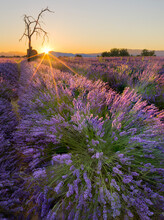 Sunrise In A Lavender Filed With A Dead Tree, A Ruin And The Sun Burst, Valensole, Provence, France