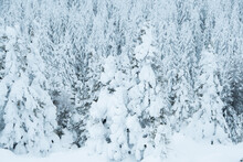 Dense Snow Forest. Winter Panorama Of Frozen Fir Trees Covering The Hillside
