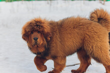 Portrait Of A Big Red Dog. The Tibetan Mastiff Puppy - Girl. The Dog Is, Looking Forward. Dog In Snow.