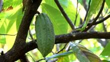 Close Up Of Yellow-orange Cacao