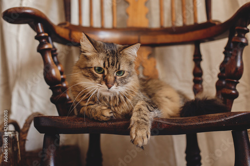 Fototapeta Beautiful tabby cat with curious look relaxing on wooden chair in bohemian room