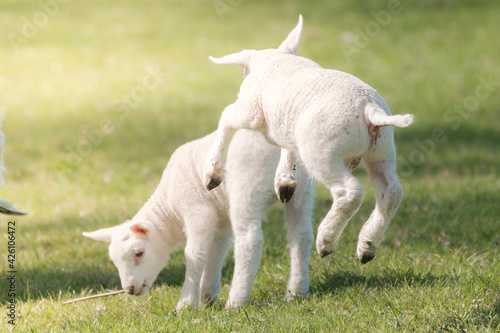 Obraz Newborn lambs play with each other in the meadow - fototapety do salonu