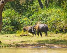 Asian Elephants Taking A Sand Bath In A Safari Of Sri Lanka.