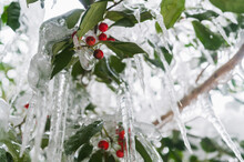 Close-up Of Icicles On Holly Branches