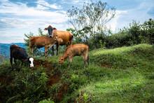 Grupo De Vacas En El Campo Mirando A Cámara, Familia De Vacas