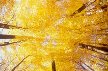 Low Angle View Of Maple Trees In Autumn