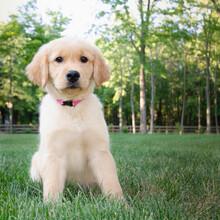 Golden Retriever Puppy Sitting On Grass
