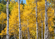 United States, Idaho, Aspen Tree With Yellow Leaves In Autumn