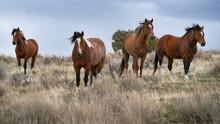 United States, Oregon, Wild Horses In Grassy Field