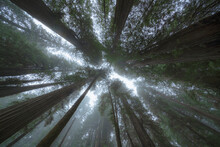 United States, California, Low Angle View Of Tall Redwood Trees Growing In Forest