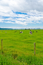 Tranquil View Of Cows Over Blue And Withe Cloudy Sky.