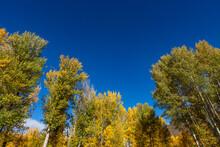 United States, Idaho,  Sun Valley, Autumn Trees With Blue Sky