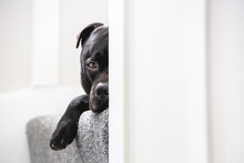 Staffordshire Bull Terrier Dog Lying On A Stairs With Carpet. Only Half Of His Face Can Be Seen And His Paw Is Hanging. He Looks Like He Is Hiding. There Is Copy Space