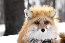 A Large Portrait Of A Red Fox In A Collar And On A Chain. Abuse And Domestication Of Wild Animals. Predator On A Leash Devoid Of Will. Fox In The Winter Forest Against The Backdrop Of Trees And Snow.