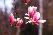Magnolia Blossom Backlit. A Messenger Of Spring.