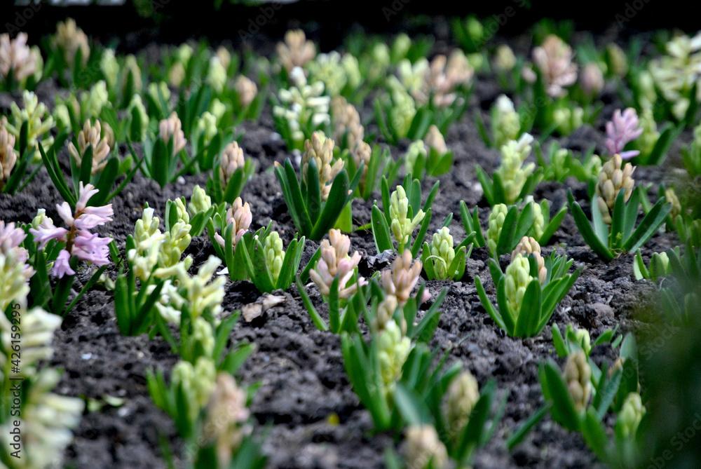 Fototapeta Zdjęcie przyrody przedstawiające małe kwitnące kwiaty wiosną