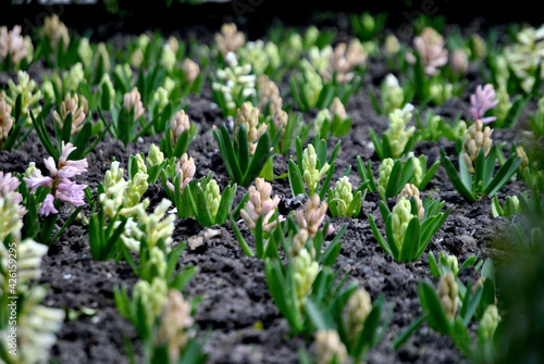 Fototapeta Zdjęcie przyrody przedstawiające małe kwitnące kwiaty wiosną obraz