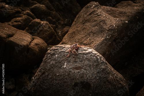 Obraz Czerwony krab siedzący na skale na kamiennym naturalnym tle wybrzeża. - fototapety do salonu