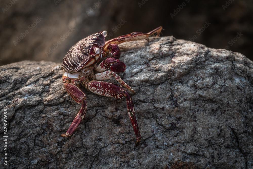 Fototapeta Czerwony krab siedzący na skale na kamiennym naturalnym tle wybrzeża.