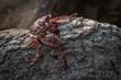 Czerwony krab siedzący na skale na kamiennym naturalnym tle wybrzeża.