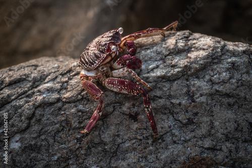 Czerwony krab siedzący na skale na kamiennym naturalnym tle wybrzeża Fotobehang