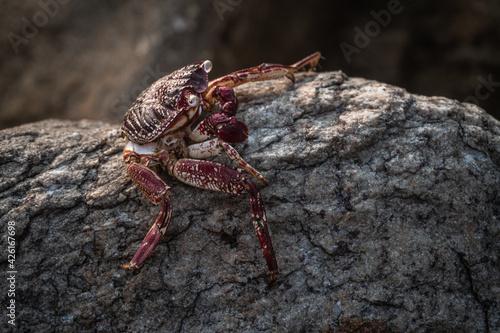 Fényképezés Czerwony krab siedzący na skale na kamiennym naturalnym tle wybrzeża