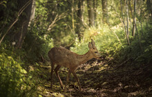 European Roe Deer In A Forest