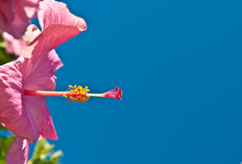 Side View, Close Up Of A Pink Hibiscus And Central Appendage, Against A Deep, Blue Sky
