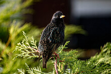 Winged Blackbird On A Tree