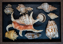 Flat Lay View Of Seashell Collection Within Wooden Frame On Black Background Containing Various Species Of The Following Families: Muricidae, Fasciolariidae, Strombidae, Conidae, Olividae, Cardiidae