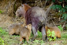 Capybara (Hydrochoerus Hydrochaeris) With Three Babies Feeding In The Pampas Del Yacuma, Bolivia.