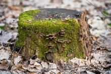 Fungus On A Tree Stump Covered With Moss In A Spring Forest