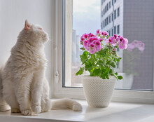 Blooming Houseplant In A Pot Pelargonium Regal And A Cute Cat On A Windowsill In A City Apartment.