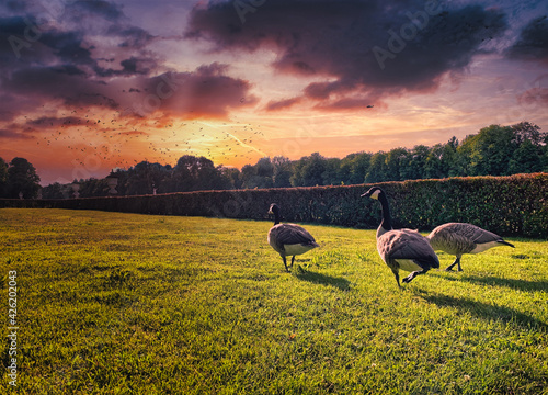 Fototapeta Gaggle of geese on a green field at sunset