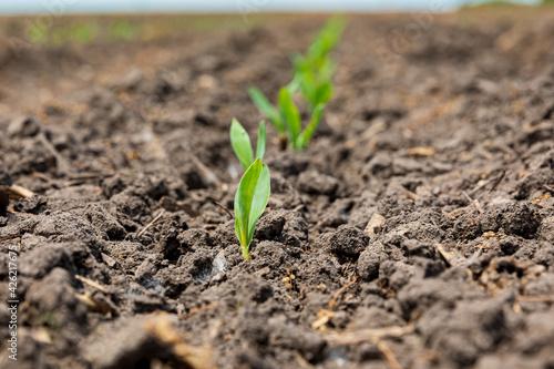 Fényképezés Corn plant emerging out of soil