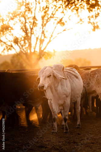 Foto The bulls in the yards on a remote cattle station in Northern Territory in Australia at sunrise