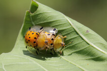 A Pair Of Bugs Are Mating On A Leaf.