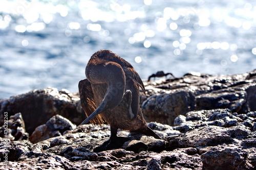 Slika na platnu Flightless cormorant (Phalacrocorax harrisi) preening on Punta Morena, Isabela I