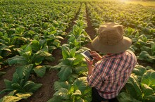 Farmer Tobacco Plantation Checking Quality By Smartphone .Agronomist Using A Smartphone In An Agriculture Field.Agricultural Product Control Technology Concept