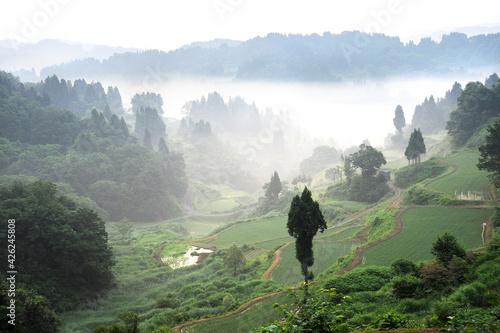 Fototapeta 棚田の朝。新潟県の山間地は耕作地が少なく、山の斜面を切り拓いて稲田が作られた。この松之山地区は入り組んだ谷の斜面で耕作が続いている。夏に発生する霧が良質の米を実らせる。  obraz