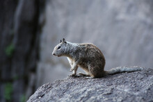 Selective Focus Shot Of A Grey Squirrel In The Yosemite National Park, In California, USA