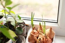 Seedlings On The Windowsill, Tomatoes , Potatoes, Watermelon, Pepper, Flowers