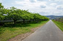 河津桜の緑並木、伊豆長岡|花が散った後の桜並木に沿う散策路、どこまでも続く真っ直ぐな道。