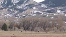 White-tailed Deer And Turkeys At Foothills Bighorn Mountains