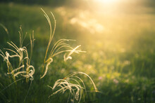 Wild Feather Grass In A Forest At Sunset. Macro Image, Shallow Depth Of Field. Blurred Nature Background