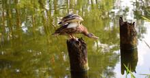 Anas Platyrhynchos. Mallard Duck Spreading Wings