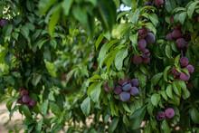 Closeup Shot Of A Growing Plum Tree