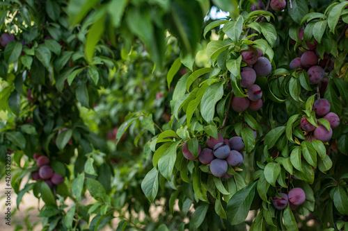 Fototapeta Closeup shot of a growing plum tree